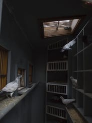 Homing pigeons rest in their coop at Rocky Mountain