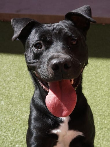 Brooskie is a 1-year-old male lab/pit mix. He had lots