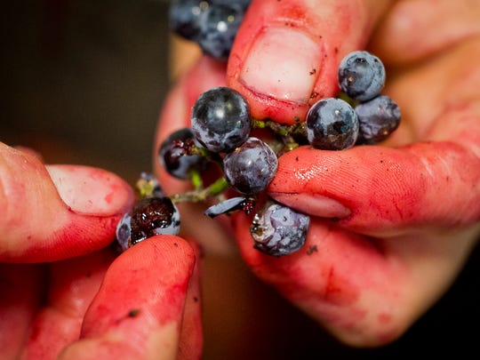One set back for processing Vermont wild grapes, the labor. The fruit is small and requires a lot of hands on work. But, says Ren Weiner, the payoff is well worth it.