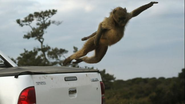 A baboon jumps from a visitor's truck in Kruger National Park on July 8, 2013, in Lower Sabie, South Africa.