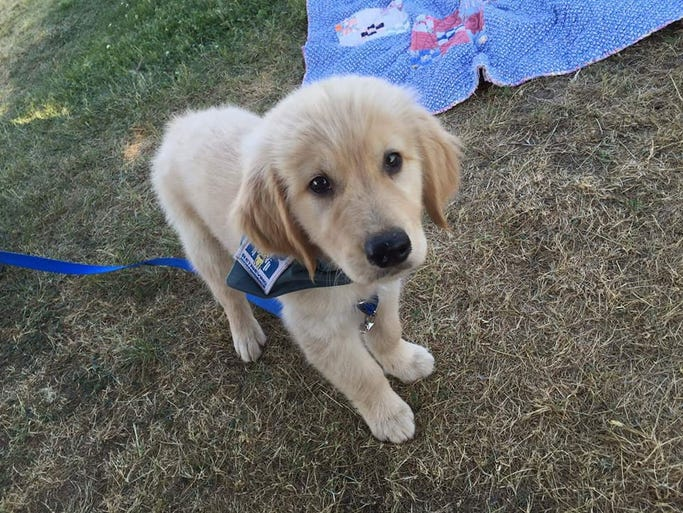 Golden retriever Mack as a puppy last year