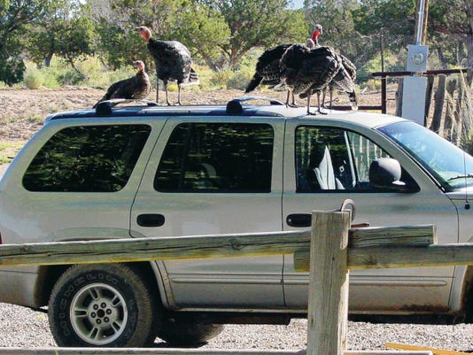 The yard at ranch headquarters had become home to a flock of wild turkeys. Through the laws of nature and procreation, their numbers had tripled.