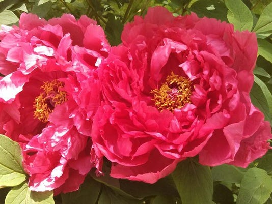 """Joni Cook of Conewago Township writes: """"Peony tree blooms"""" Submitted"""