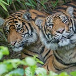 File picture - Two Sumatran tigers are pictured in their enclosure on June 18, 2012 at the zoo in Frankfurt., western Germany.