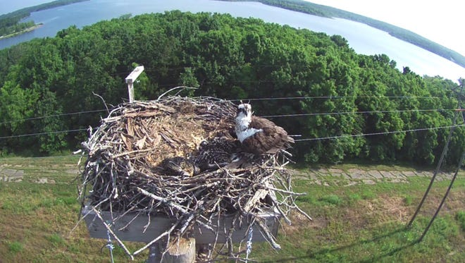 An osprey and several chicks are seen via a live-view  Osprey Cam  at Stockton Lake