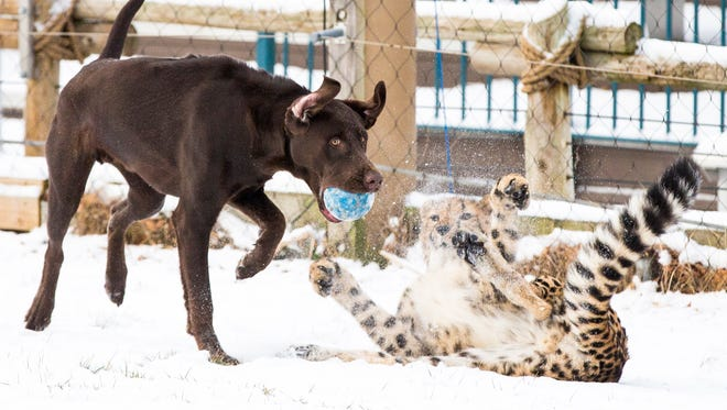Moose steals Donni's ball as they play together in the snow for the first time at the Cincinnati Zoo & Botanical Garden Friday, January 6, 2016.