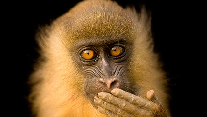 """The Bioko Drill Monkey, one of more than 3,700 species photographed by National Geographic photographer Joel Sartore for his project, """"The Photo Ark."""""""