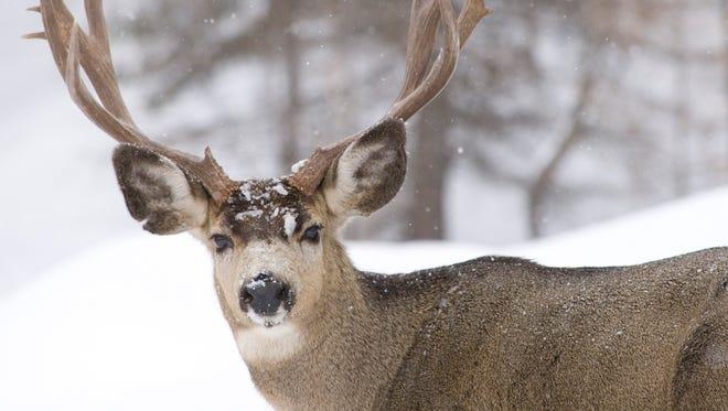 Mule deer wintering on ODFW Elkhorn Wildlife Area, Baker County, OR.