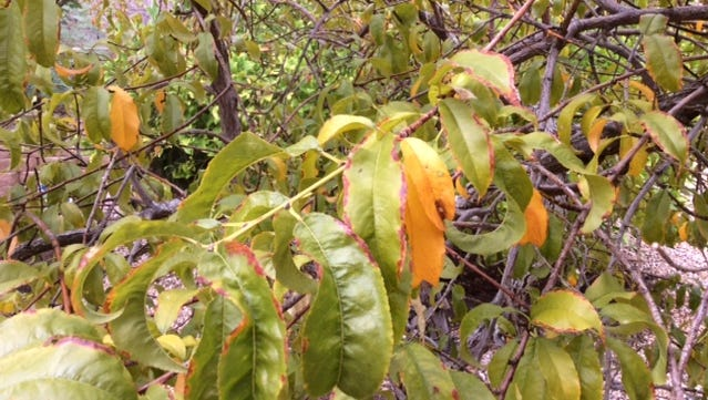 Yellow leaves of a peach tree.