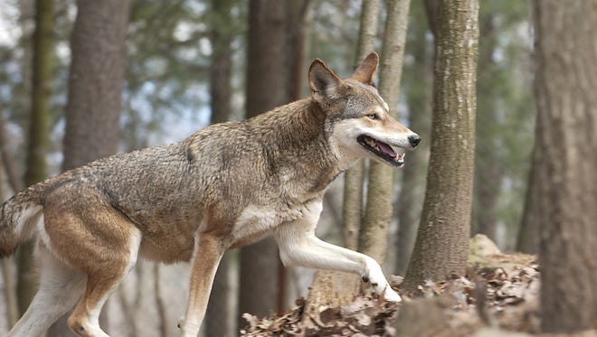 A red wolf moves through the habitat at the WNC Nature Center in Asheville.  The center is home to some of the endangered animals.