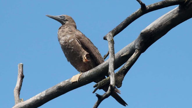 A brown booby seabird is perched on a dead tree along the shore of Nimisila Reservoir on Monday. Bird watchers fear it may have died.