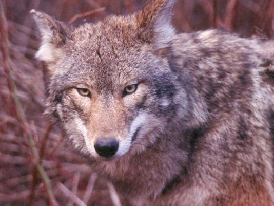 -coyote DFW.jpg_20080122.jpg
