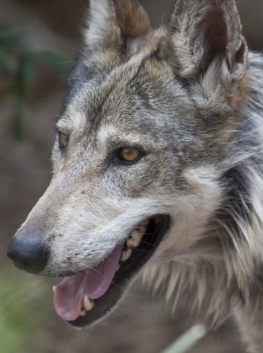 A Mexican gray wolf roams in the wolf exhibit at the Phoenix Zoo.