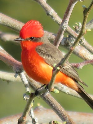 The Vermilion Flycatcher is not a New Mexico native but it visits the site during the summer because of the rich environment at the WSMR Golf Course. WSMR is known as the hotspot for the rare bird. At least 12 birds have been spotted during the summer.