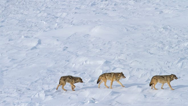 This Feb. 15 photo released by Michigan Technological University shows the last three wolves known to live at Isle Royale National Park in Lake Superior.