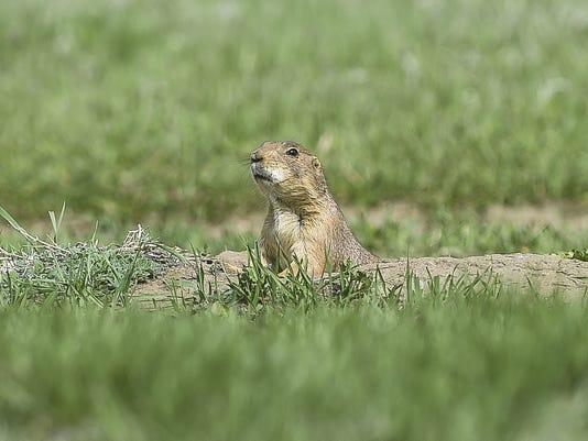 FTC0430-PrairieDogs