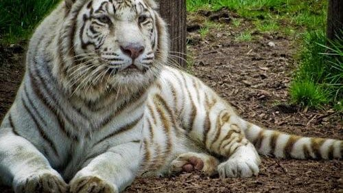 Rewa, a white Bengal tiger, had been at York's Wild Kingdom zoo in York Beach, Maine, for nearly 15 years when she passed away shortly before the property was set to reopen for the 2020 season.