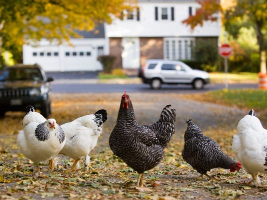Chickens Backyard salmonella infections linked to backyard chickens, cdc warns