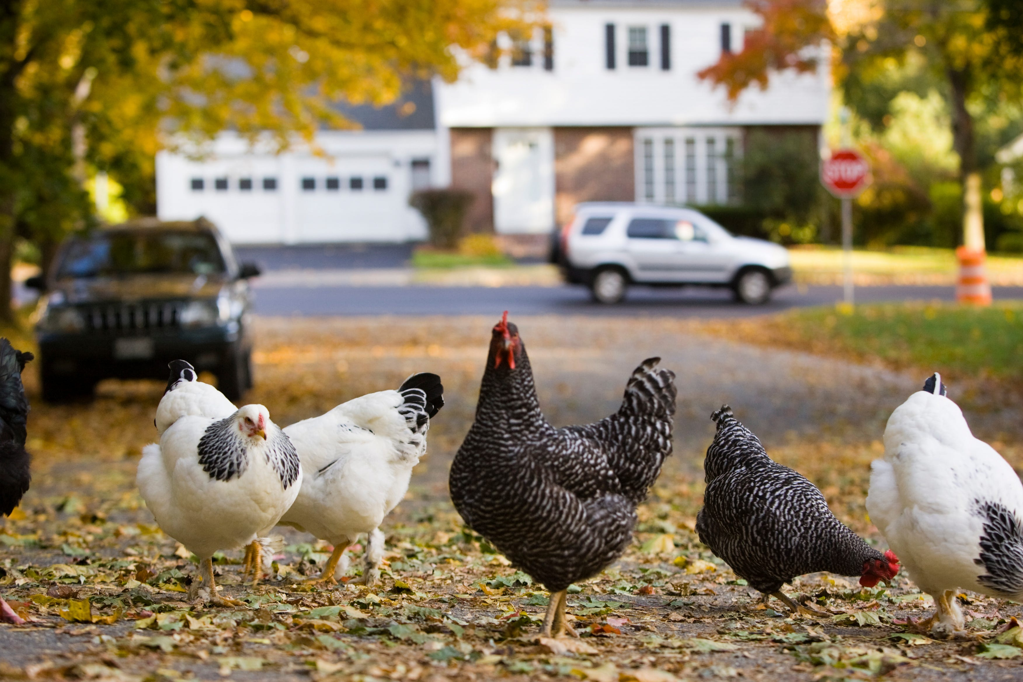 Over 200 Salmonella Infections Linked To Backyard Chickens, CDC Warns