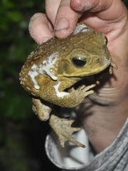 These toads secrete a poison when threatened. The white