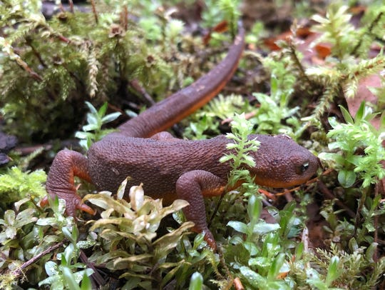 A rough-skinned newt on the Riverside Trail.