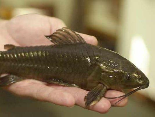 635599511145493748-InvasiveCatfish