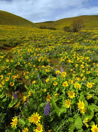 The fields of balsamroot at Columbia Hills State Park spread across entire hillsides.