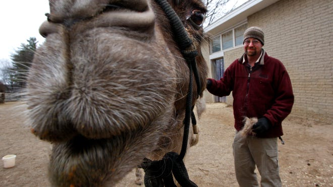 Brian Hettinger, an elephant area supervisor, brushed the hair of Olivia while she munched on some food. She is one of two geriatric camels at the Louisville Zoo. Every afternoon they are feed five scoops each of glucosamine mixed with carrots and grain to help with their sore joints from old age. While they eat, their keepers brush their hides to remove loose hair. They were born in Australia and have never completely adjusted to the opposite seasons from south of the equator. Their bodies think it should be spring, a time when they lose some hair. The extra hair is given to the birds at the zoo to make nests. Hettinger said that they have to care for animals for all their lives. He said you have to expect that most animals that you care for will pass away. That's part of what you sign up for when you take the job as zoo keeper._( By Pam Spaulding, The Courier-Journal)_12/22/08