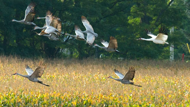 A whooping crane (white) takes flight with a group of sandhill cranes near Princeton. Both species have made remarkable comebacks in Wisconsin.