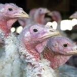 After avian flu crisis, Minnesota turkey farmers recover
