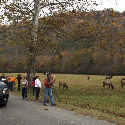 A herd of elk drew the attention of dozens of spectators in the Cataloochee area of the Great Smoky Mountains National Park. The N.C. Wildlife Commission voted Thursday to start the framework for opening an elk hunting season.
