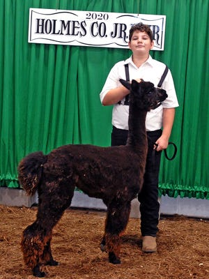 Austin Berhart won the best of show halter class alpaca award and several other awards Friday in the Holmes County Fair Llama and Alpaca Show..