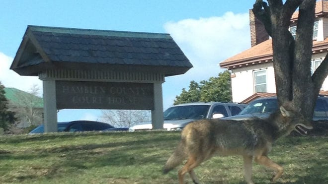 Attorney Mary Helms shot this photo of a coyote crossing the Hamblen County Courthouse lawn with an iPhone on Feb. 14 in Morristown. 'It seemed to be traveling with a purpose and did not stop to chat, but it seems to be smiling, so perhaps like everyone else - it was just out enjoying a little spring-like weather! I hope it made it safely to its destination,' she said in an email.