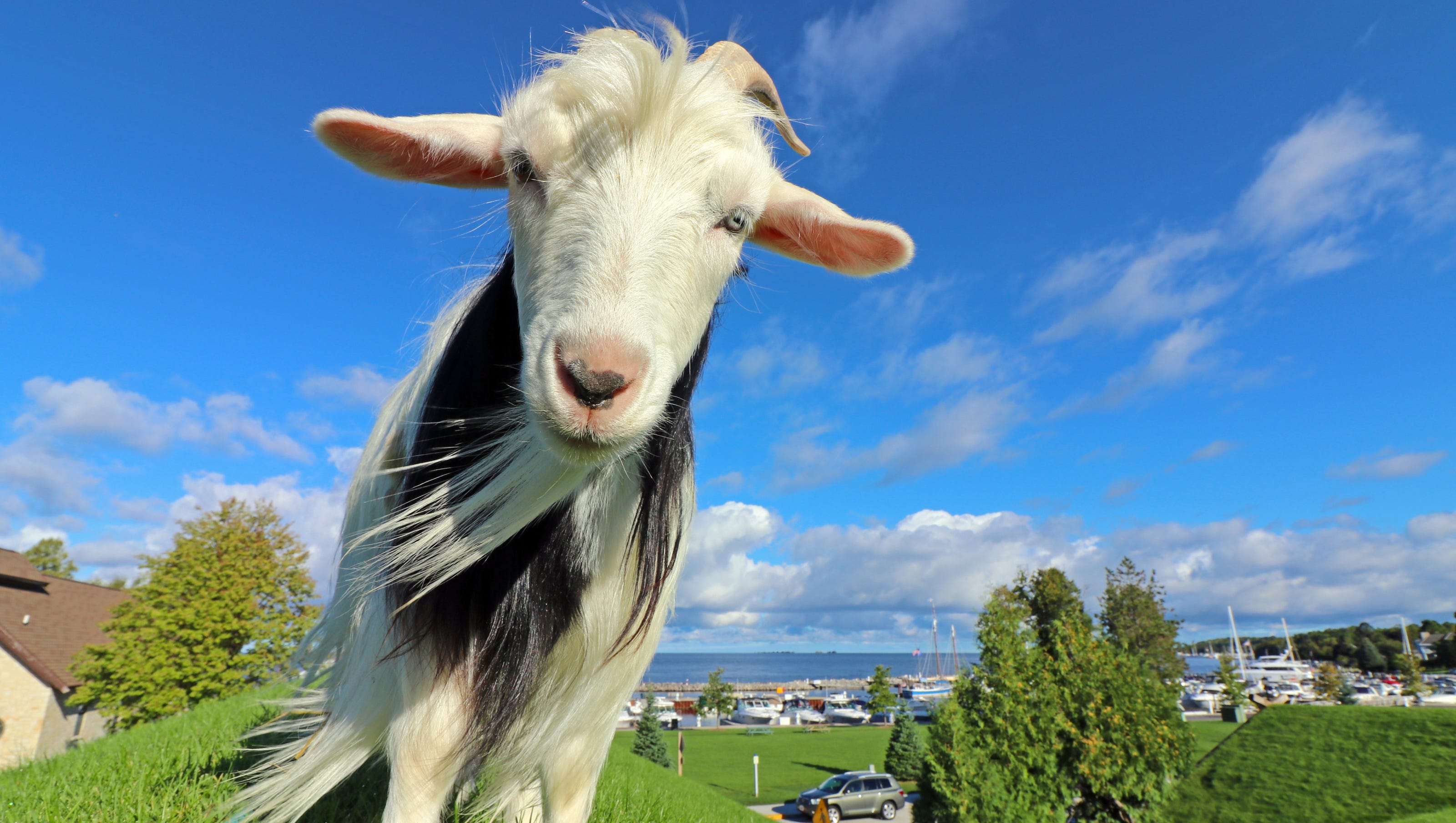 All You Need To Know About Al Johnson S Rooftop Goats In Door County