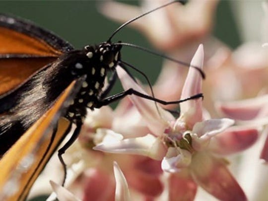 """Monarchs and Milkweed"" is one of the films that is expected to screen at the Wild and Scenic Film Festival in Reno on Sunday, Nov. 1."