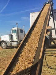 Peanuts are loaded on a semi-trailer via conveyor belt.