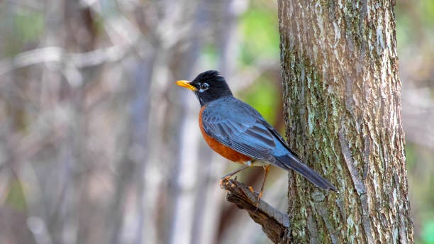 American Robin bird perched on a tree branch. A mysterious illness is impacting birds in Ohio, Kentucky and Indiana.