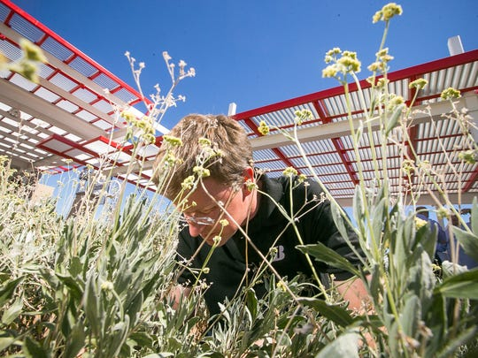 New Business Development Director William Niaura looks through Guayule bushes to show visitors the rubber-like sap in its branches at the Bridgestone guayule research center in Mesa on Monday, September 22, 2014. The rubber from the bush can be used for tires.
