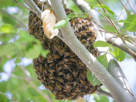 Buzzing about relocating unwanted bees instead of killing them