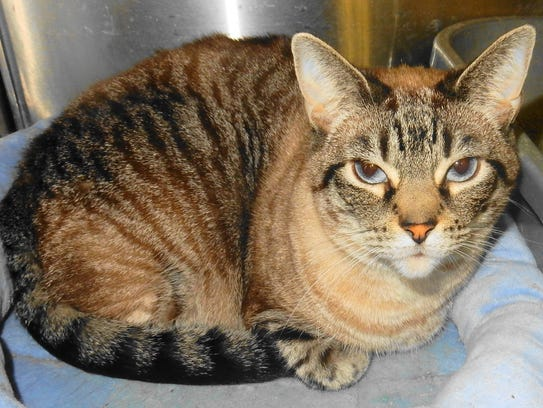 Beauty is a 4-year-old, declawed, female cat whose