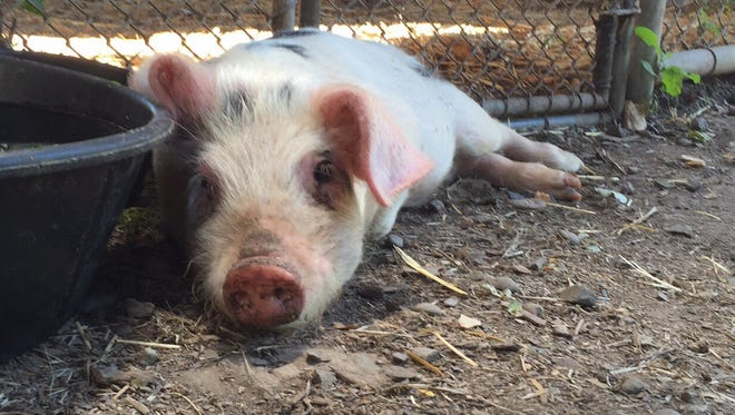The piglet, who shelter personnel named Dahlia, is healthy and uninjured. She loves belly rubs and is extremely affectionate.