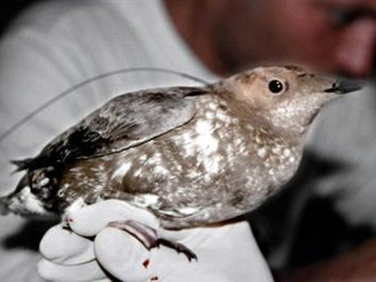The marbled murrelet is a threatened species.