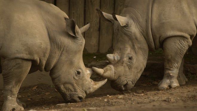 In 2007, Bill the rhino, left, rubs horns with his half-brother Roscoe as the two roam around their outdoor exhibit at the Seneca Park Zoo.