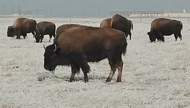 Livestock, like these domesticated buffalo near Amarillo, had to contend with frozen pastures when the winter blast dropped temperatures into the teens and lower.