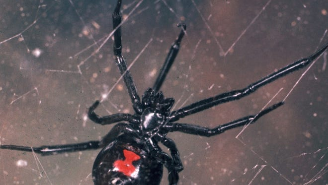 The venom of a black widow spider (Latrodectus mactans) is 15 times more toxic than that of rattlesnakes.