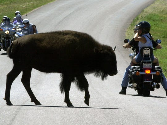 Watched by bikers, a bison at Custer State Park in South Dakota's Black Hills crosses a road Aug. 6, 2001, during the 61st annual Sturgis Bike Rally.