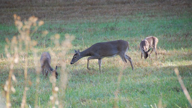 Hunters are also land managers with the responsibility of keeping track of deer numbers seen both while hunting and while scouting to get an accurate assessment of the local herd, then deciding how many, if any, does should be harvested from their lands.