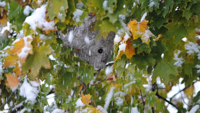 Rain or wet snowstorms like this one on Oct. 27, 2016 in Hudson, seldom harm white-faced hornet nests.