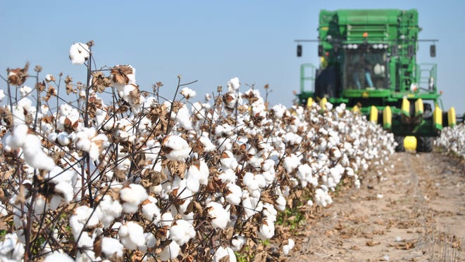 A Jones County cotton field is harvested in 2016.