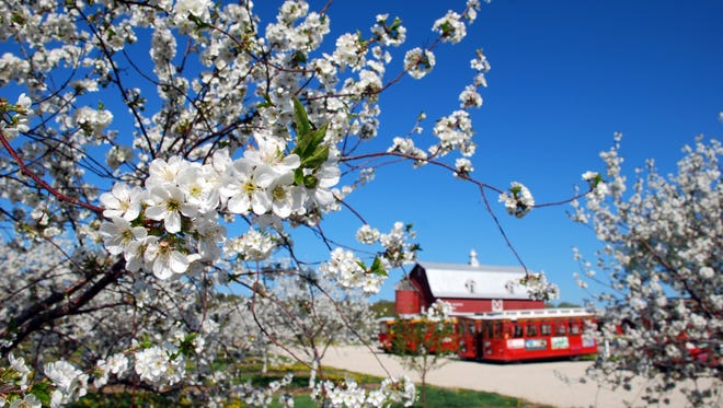More than 2,500 acres of cherry blossoms take orchards in Door County by storm each spring.
